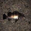 神楽さんの富山県射水市でのメバルの釣果写真