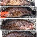たこたかさんの静岡県沼津市でのオオモンハタの釣果写真