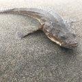 シーアツさんの北海道瀬棚郡での釣果写真