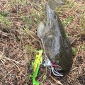 自由の翼さんの埼玉県でのナマズの釣果写真