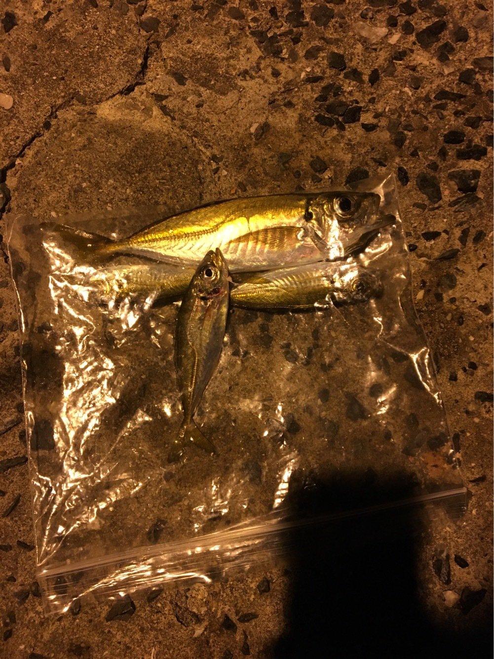 クモ助さんの投稿画像,写っている魚はアジ