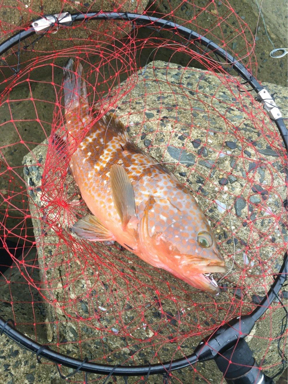 タさんの投稿画像,写っている魚はキジハタ