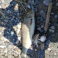 フィネスさんのニゴイの釣果写真