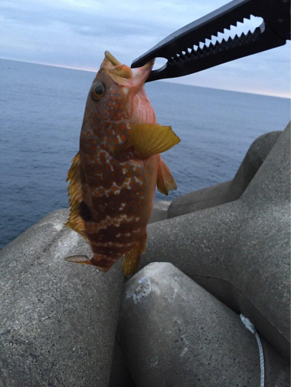 まえぴさんの投稿画像,写っている魚はキジハタ