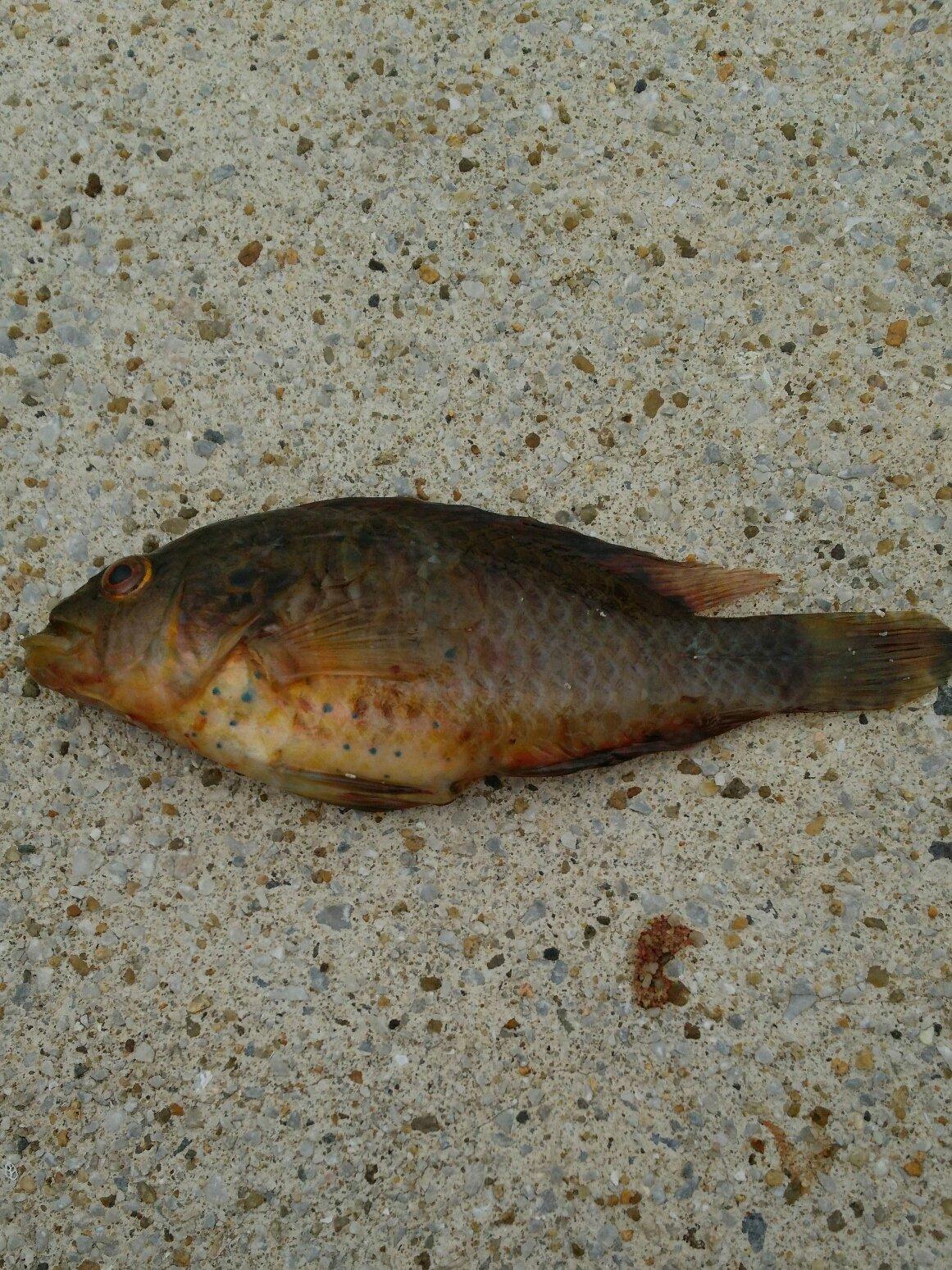 やまさんさんの投稿画像,写っている魚はオハグロベラ