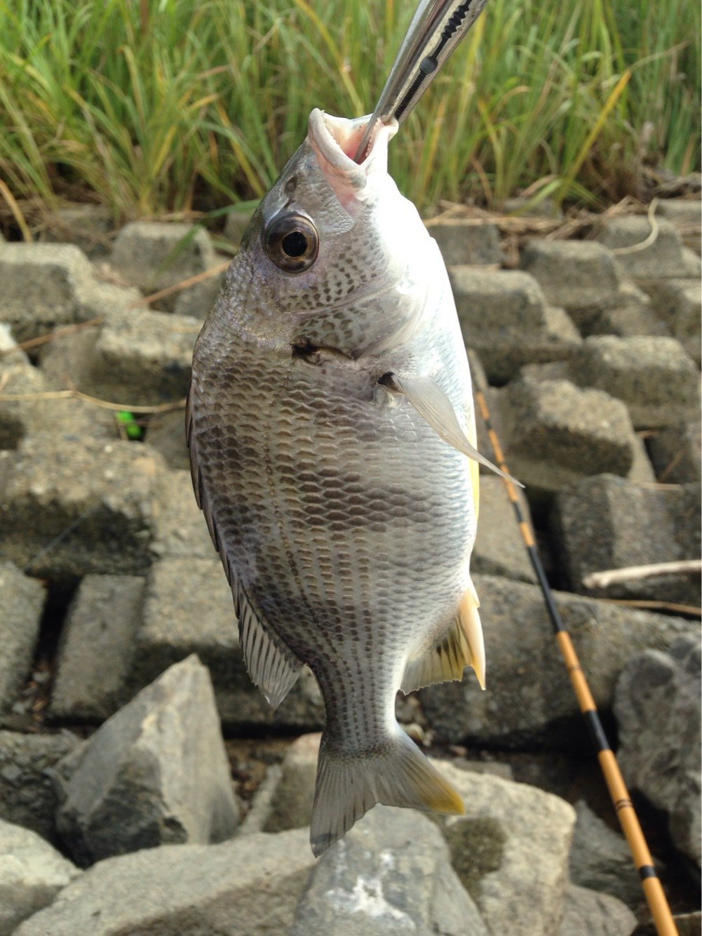 パンクンさんの投稿画像,写っている魚はキチヌ
