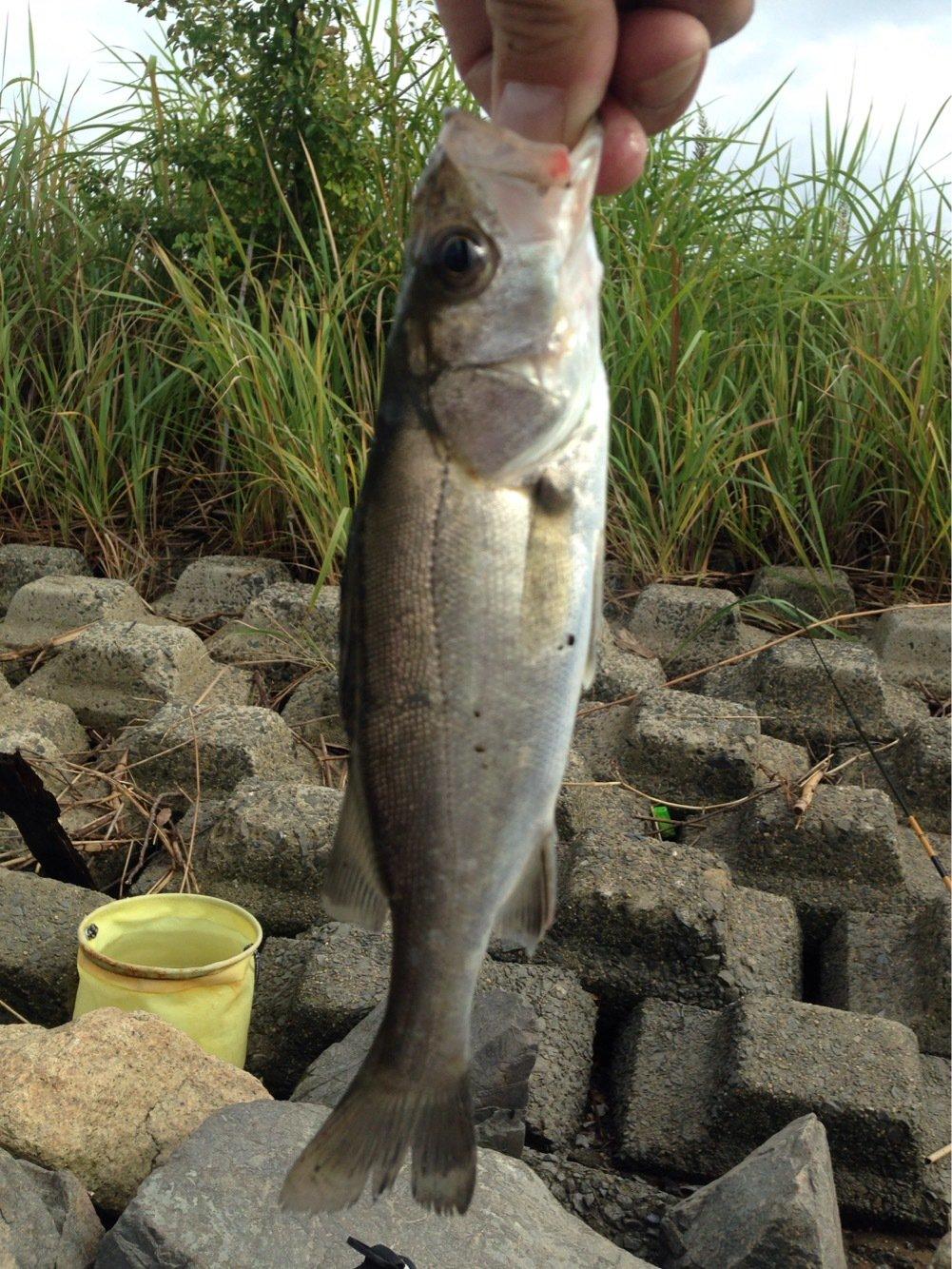 パンクンさんの投稿画像,写っている魚はスズキ