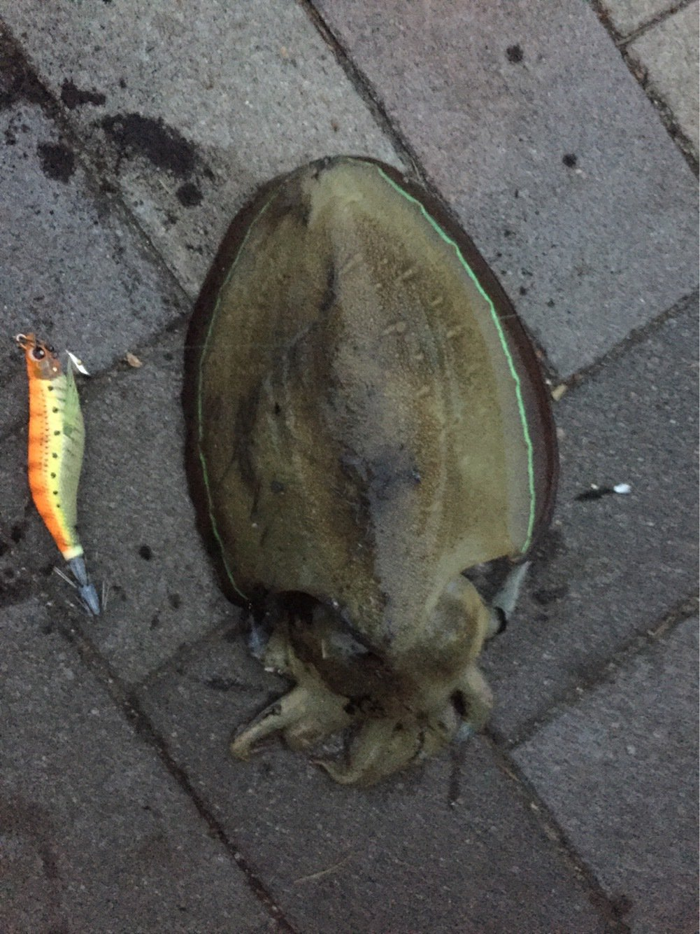 kjさんの投稿画像,写っている魚はコウイカ