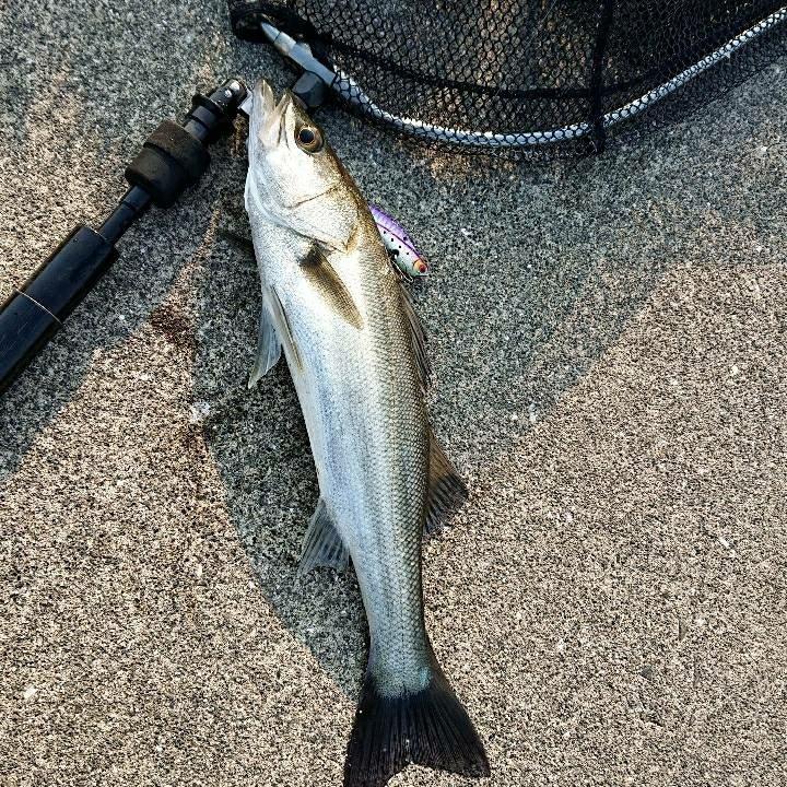 ストイスト🔥さんの投稿画像,写っている魚はスズキ