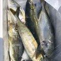 ぴえろさんの徳島県阿南市での釣果写真