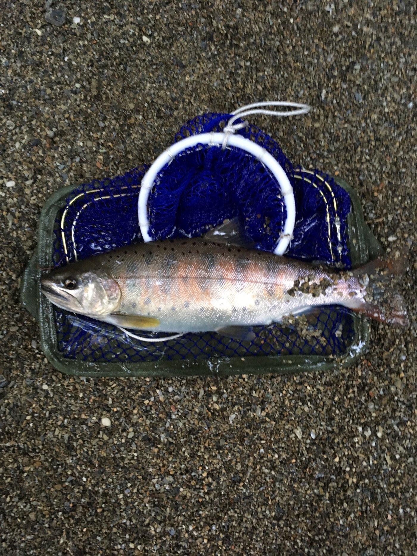 TDMAさんの投稿画像,写っている魚はヤマメ