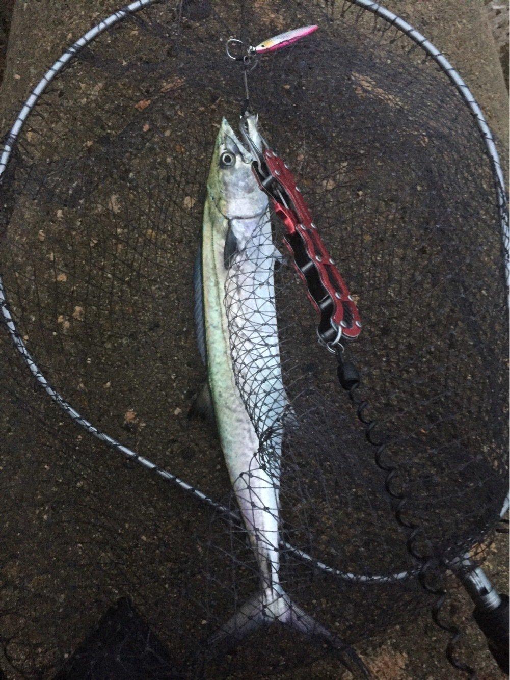 明羽衣さんの投稿画像,写っている魚はサワラ