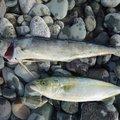 チャボさんの神奈川県でのシイラの釣果写真