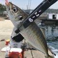 カズピトさんの兵庫県南あわじ市での釣果写真