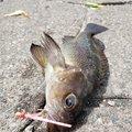 ゆうこさんの北海道苫小牧市での釣果写真