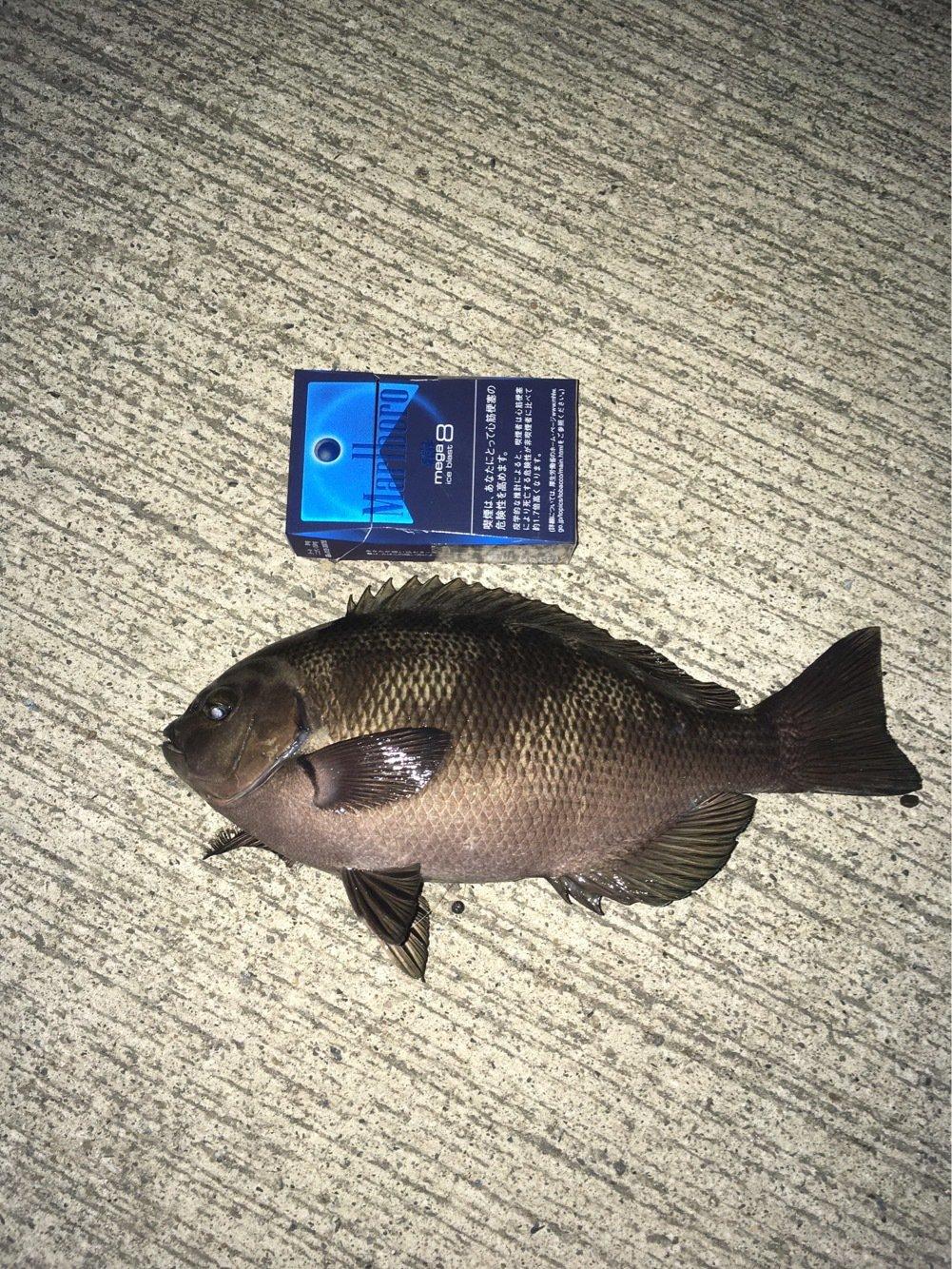 まっしさんの投稿画像,写っている魚はメジナ