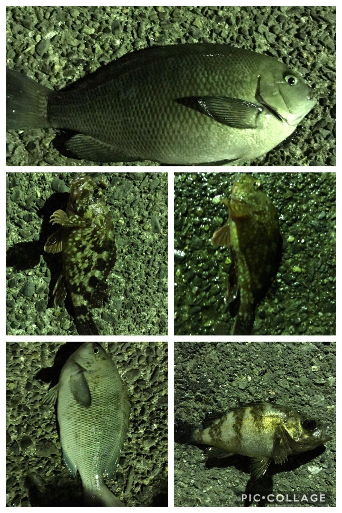 だーよしさんの投稿画像,写っている魚はメジナ,メバル,カサゴ