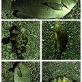 だーよしさんの神奈川県川崎市でのカサゴの釣果写真