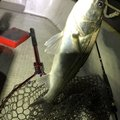 草リグさんの千葉県千葉市での釣果写真