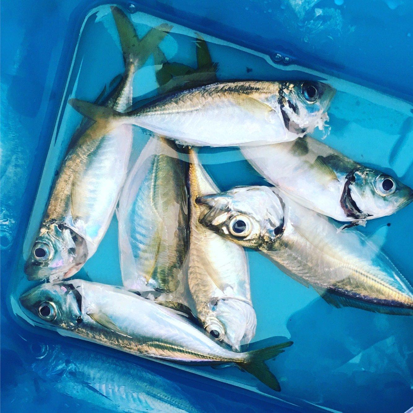 ささくみさんの投稿画像,写っている魚はアジ