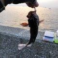 にく@マイスターさんの神奈川県横須賀市でのカサゴの釣果写真
