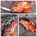 legioさんの静岡県伊東市でのカサゴの釣果写真