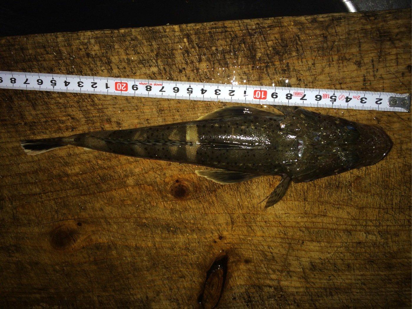 シーバスハンターさんの投稿画像,写っている魚はコチ