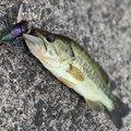 だーつーさんの大分県豊後大野市での釣果写真