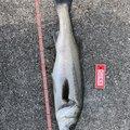 アポロンさんの兵庫県神戸市でのスズキの釣果写真
