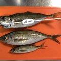 Tachiさんの石川県加賀市での釣果写真