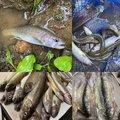 ドゥラメンテさんの岩手県一関市での釣果写真