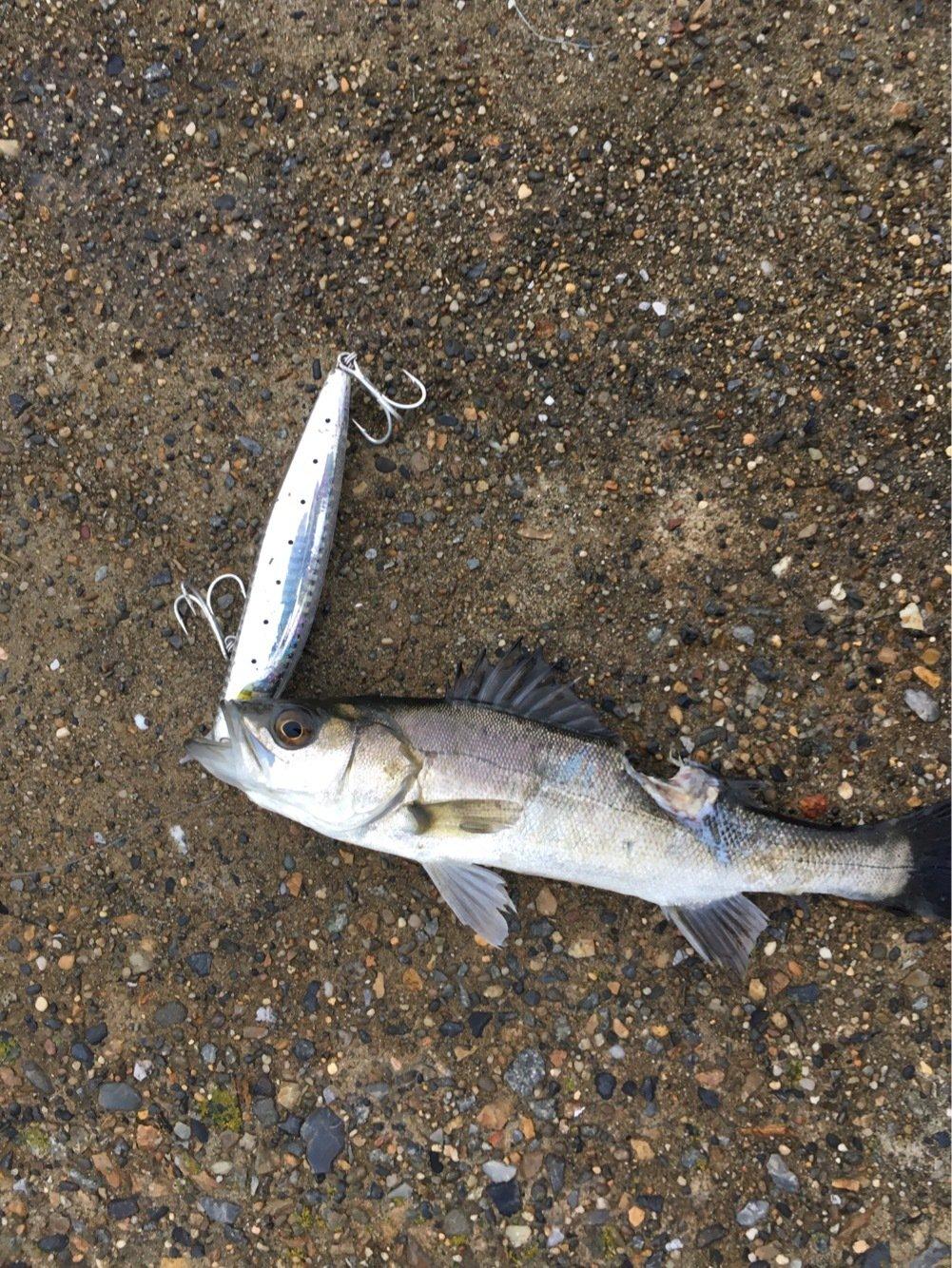 あめさんの投稿画像,写っている魚はスズキ