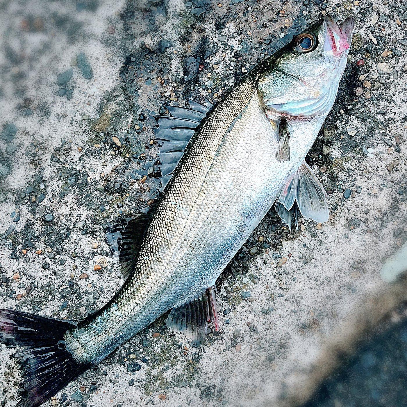 釣り好きドラマーさんの投稿画像,写っている魚はスズキ