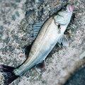 釣り好きドラマーさんの神奈川県川崎市での釣果写真