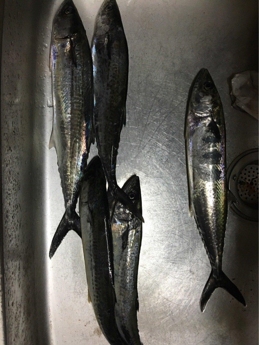 とんトロさんの投稿画像,写っている魚はサワラ