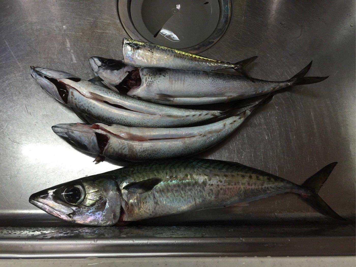 すずけんさんの投稿画像,写っている魚はゴマサバ
