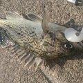 カチュアさんの北海道苫小牧市での釣果写真