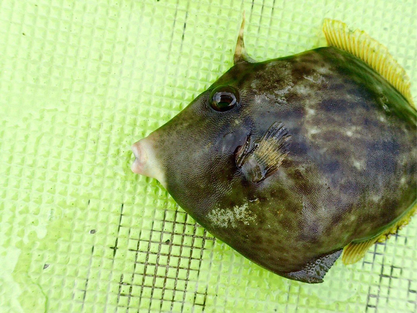 N' HAYATOさんの投稿画像,写っている魚はカワハギ