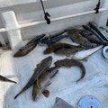 おだむどうさんの宮城県でのアイナメの釣果写真
