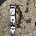 ボマイエさんの青森県でのアイナメの釣果写真