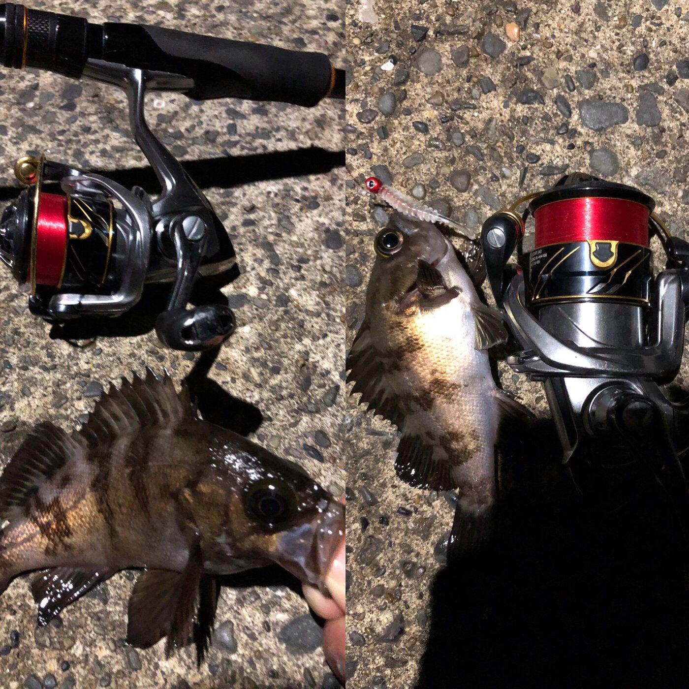 さかもとっぷけいさんの投稿画像,写っている魚はメバル
