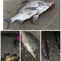やきそばさんの千葉県山武市での釣果写真