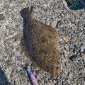 岩ナーズさんの石川県かほく市でのヒラメの釣果写真