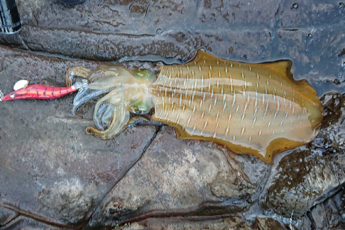 ターシさんの投稿画像,写っている魚はアオリイカ