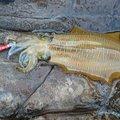 ターシさんの鳥取県岩美郡での釣果写真