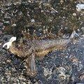 神楽さんのオニオコゼの釣果写真