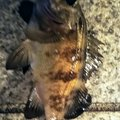 snufkin49さんの兵庫県でのメバルの釣果写真