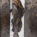 根魚ハンターさっちゃんさんの北海道苫小牧市での釣果写真