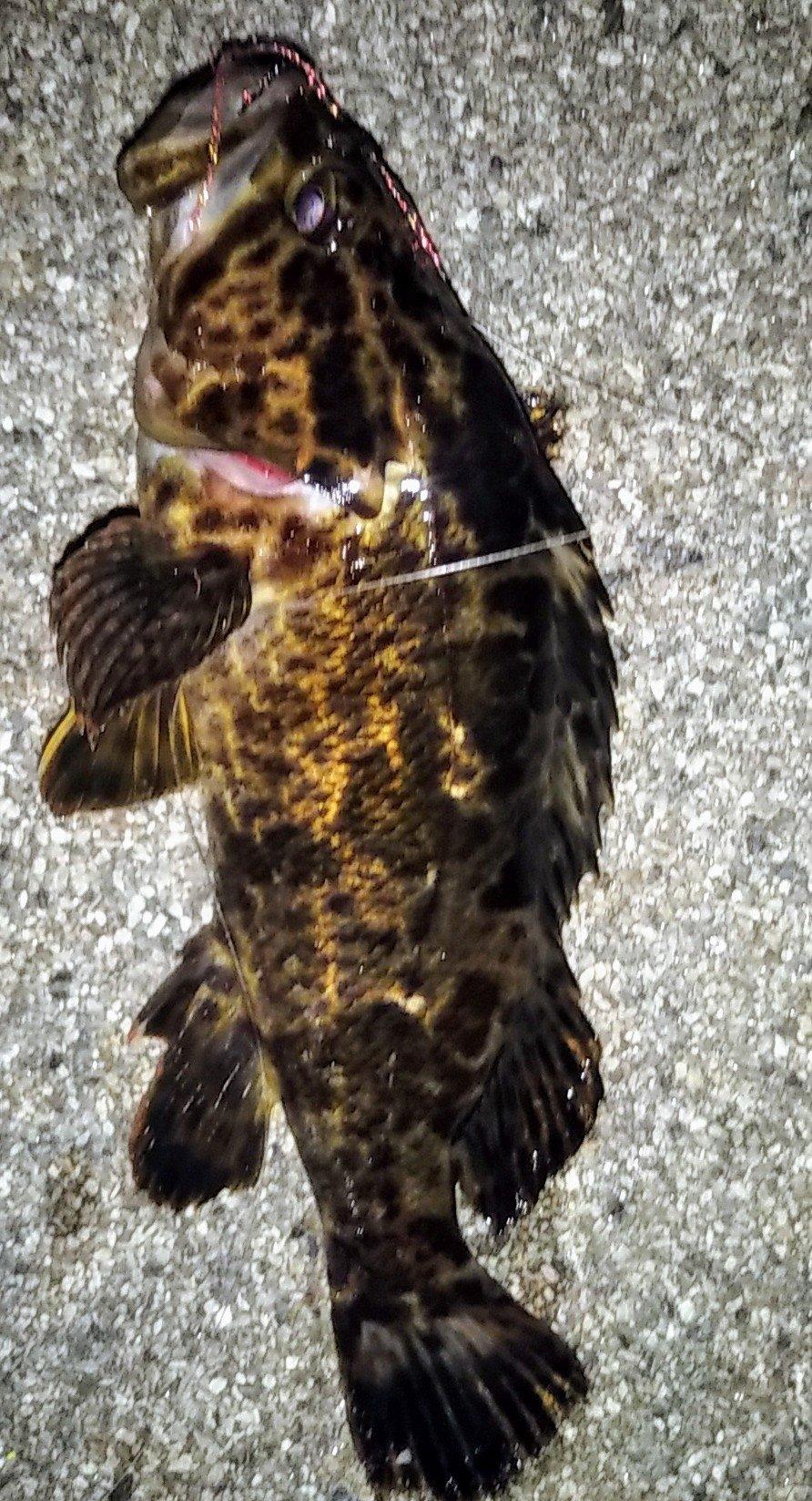 snufkin49さんの投稿画像,写っている魚はタケノコメバル