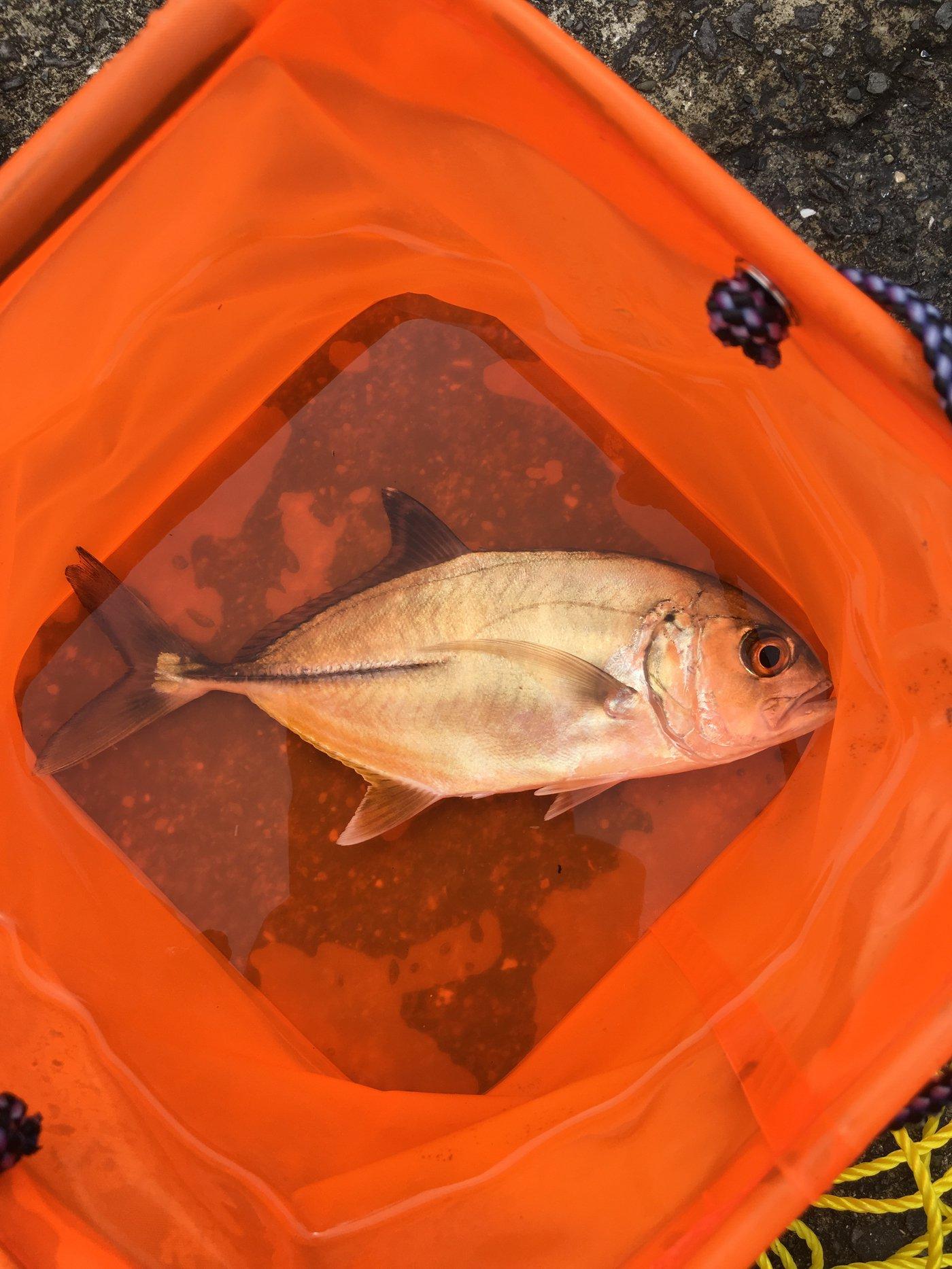 しきこうさんの投稿画像,写っている魚はギンガメアジ